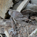 Gumleaf Grasshopper - nymph