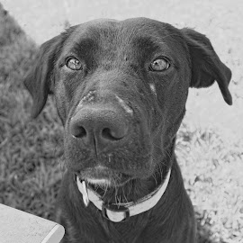 Chelsea by Kirk Barnes - Black & White Animals ( labrador, scars, proud, black and white, wisdom,  )