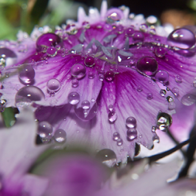 by Mitzi Sibert - Flowers Single Flower ( water, nature, purple, flower )