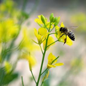 Honey Bee by Tahir Sultan - Animals Insects & Spiders ( #closup, #nikon, #justlife, #macro, #honeybee,  )