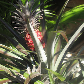 Pineapple plant by Redski Pictures - Nature Up Close Other plants ( plant, nature, pineapple, leaves, exotic )