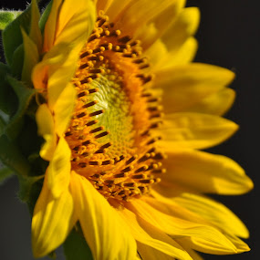 Alabama Sunflower by Roger White Jr. - Uncategorized All Uncategorized ( flowers,  )