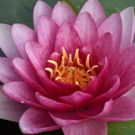 by LADOCKi Elvira - Flowers Single Flower ( floral, pond, flowers, water lilly, plants, garden )