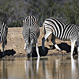 At the waterside by Pieter J de Villiers - Animals Other