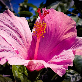 Hibiscus Flower by Anne LiConti - Instagram & Mobile Android ( #mobilephoto, #mobile, #instagram, #hibiscusflower, #flower )