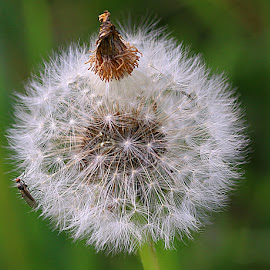 With Fly and Topknot! by Chrissie Barrow - Nature Up Close Other plants ( dandelion, nature, fly, green, white, brown, seeds, bokeh, closeup, seedhead,  )