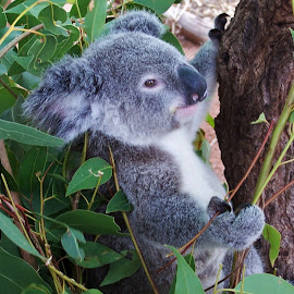 Koala by Sarah Harding - Novices Only Wildlife ( nature, outdoors, novices only, wildlife, animal )
