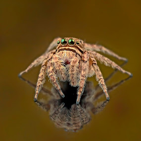 Reflection of spider by Tan Tc - Animals Insects & Spiders ( reflection, macro photography, spider, insects, close up )