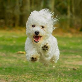 Bichon running by Jenny Trigg - Animals - Dogs Running ( grass, green, bichon frise, woodland, puppy, dog, running,  )