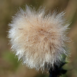 Fuzzy by Chrissie Barrow - Nature Up Close Other plants ( plant, wild, thistle, fuzzy, thistle down, seeds, closeup, seedhead )