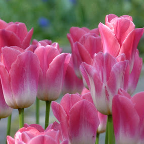 Tulips from Vienna ll. by Helena Moravusova - Flowers Flower Gardens ( tulips, flowers )