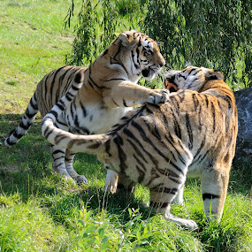 Siberian tigers by Fred van Maurik - Animals Lions, Tigers & Big Cats ( siberian tiger, amur tiger, zoo, reddish-rusty, sikhote-alin, beekse bergen, stripes, panthera tigris altaica, netherlands )