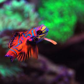 Mandarin Fish by Yanti Hadiwijono - Animals Fish