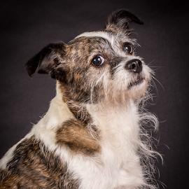 by Myra Brizendine Wilson - Animals - Dogs Portraits ( canine, foster dog, dogs, foster dog sinclair, pet, pets, sinclair, gcspca, dog, foster sinclair, greater charlotte spca,  )