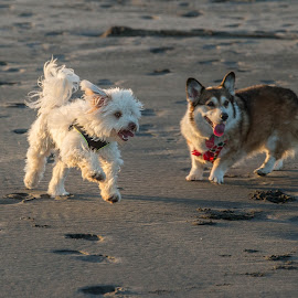 Play day at the beach by Brent Morris - Animals - Dogs Playing