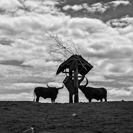 Os Toros by Alexandre Rios - Animals Other ( picoftheday, bestoftheday, field, shadow, photographic, daylight, farm, black and white, bull, photography )