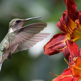 Day-lily Hummer  by Tom Martin - Animals Birds