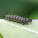 Monarch Caterpillar / Monarch Butterfly