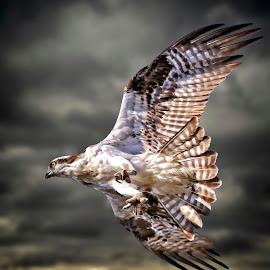 Osprey closing in on its prey by Sandy Scott - Digital Art Animals ( stormy, clouds, animals, wildlife, birds, hawk, predator, birds of prey, talons, osprey in flight, nature, seahawk, wings, action, raptor, osprey )
