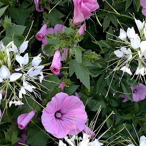 white pink by Radisa Miljkovic - Flowers Flower Arangements ( niba )