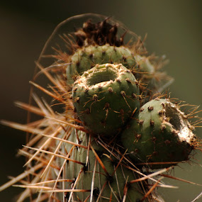 cactus by Josefina Macchia - Nature Up Close Other plants ( cactus )