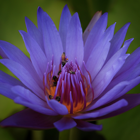 Lotus by Stephan Guenot - Flowers Single Flower ( bangkok, thailand, louts, flower )