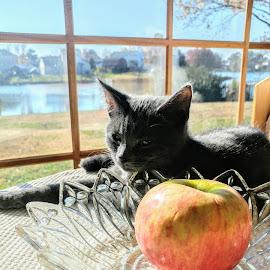 Sunbathing beauty by Ericka Saucier - Animals - Cats Kittens ( grey cat, kitten, sunshine, kitty, sunbathing )