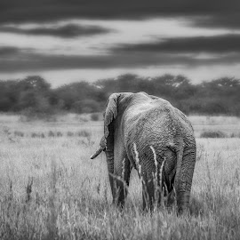 Roaming free by Wim Moons - Black & White Animals ( wild, elephant, south africa, wildlife, africa, w.moons )