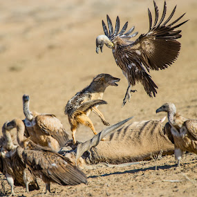 Ninja Vulture by Bridgena Barnard - Animals Other Mammals ( kgalagadi,  )
