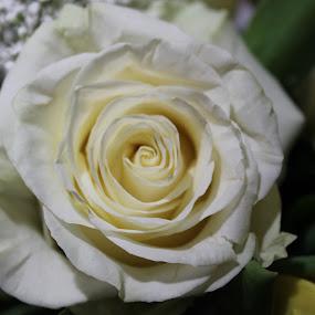 Birthday Rose by Amanda Saxton-Jenson - Flowers Flower Arangements (  )