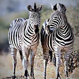 Zebra Sisters by Pieter J de Villiers - Animals Other
