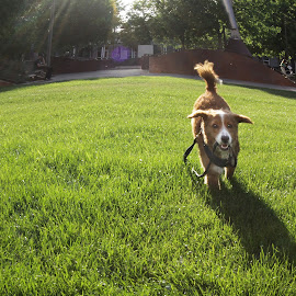 by Deb Bulger - Animals - Dogs Running ( funny animals, dog park, animals, dog playing, dog )