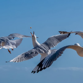 One Gull's loss is another Gull's Gain by Jan Murphy - Animals Birds ( sky, food, wings, seagulls, gulls,  )