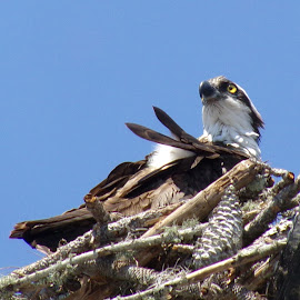 Parent Osprey on Nest by Cheryl Beaudoin - Nature Up Close Hives & Nests ( bird, nature, nest, parent, prey, close up, osprey )