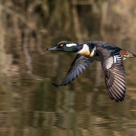 Hooded Merganser by Shutter Bay Photography - Animals Birds ( bird, flight, nature, hooded merganser, ducks, birds, bird photography )