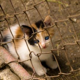Cute eyes by Rombe Kasňa - Animals - Cats Kittens ( kitten, cat, blue eyes, cute, young, eyes,  )