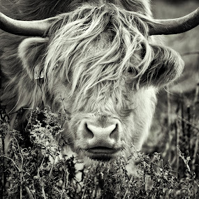 Kiss me quick by Stephen Crawford - Black & White Animals ( hairy, kiss, highland cows, black and white, enterkine, cow,  )