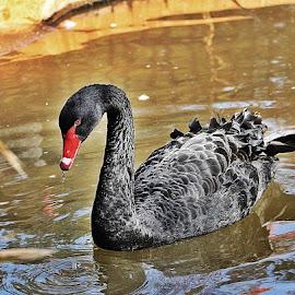 Black Swan by Jeff Abel - Animals Birds