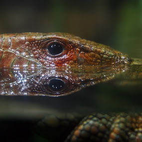 Eyes on You by Even Steven - Animals Reptiles ( look, water, scale, reflection, amphibian, reptile )