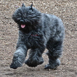 by Victoria Eversole - Animals - Dogs Running ( dog parks, bouvier des flandres, big puppy play )