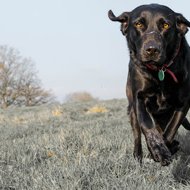 Running Black Labrador by Jenny Trigg - Animals - Dogs Running ( retriever, black dog, dog, labrador )