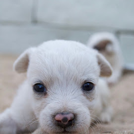 What's Up? by Savannah Eubanks - Animals - Dogs Puppies ( small, white, puppy, white puppy, dog, cute )