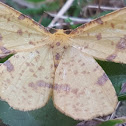 False Crocus Moth