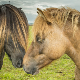 Morning snug by Ríkarður Óskarsson - Animals Horses ( field, iceland, horses, grass, ponies )