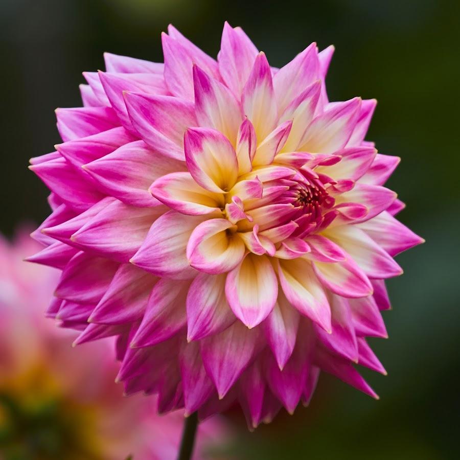 Dahlia 8695~ by Raphael RaCcoon - Flowers Single Flower