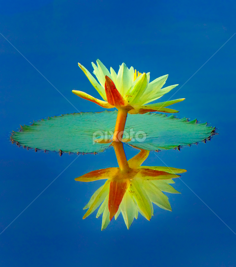 Reflection by Charliemagne Unggay - Nature Up Close Flowers - 2011-2013 ( water, lily, nature, blue, flower )