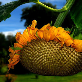 SUNBURST by Steve Cooper - Nature Up Close Flowers - 2011-2013 ( stalk, sees, sunflower, yellow, light )
