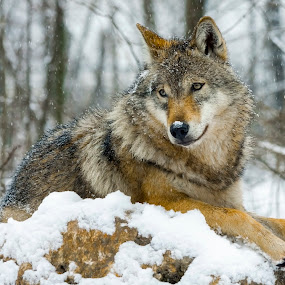by Lajos E - Animals Other Mammals ( canis, europe, wood, carnivores,  )