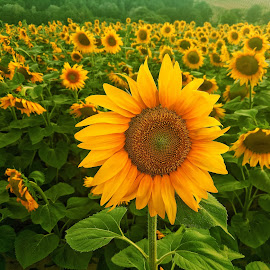 Sunflowers by Zachary Taylor - Instagram & Mobile Android ( field, green, sunflower, sumflowers, sun )