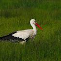 Cigüeña blanca (White stork)